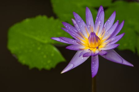 blue lotus Stock Photo - 6983336