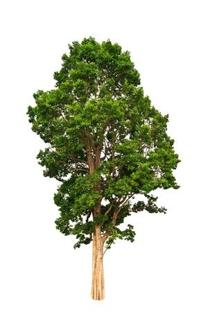 leafy trees: �rbol tropical sobre fondo de whtie Foto de archivo
