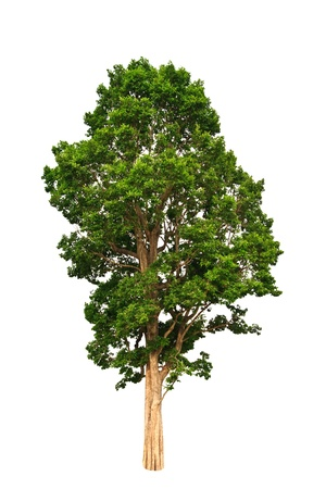 Tropical tree on whtie background Stock Photo - 8436558