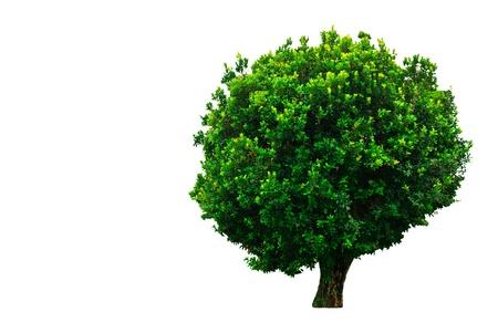 Tropical tree on whtie background Stock Photo - 8444261