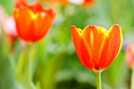 Colofful tulips Stock Photo - 8968518