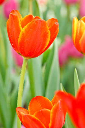 Colofful tulips Stock Photo - 8968553