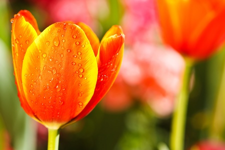 Colofful tulipes Banque d'images - 8968582