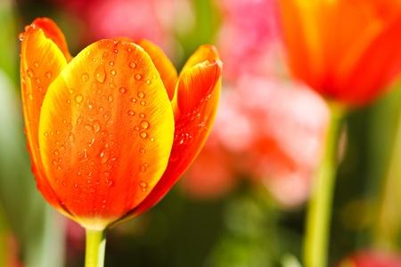 Colofful tulips photo