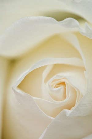 Center of white rose photo