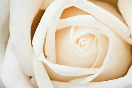 Center of white rose Stock Photo