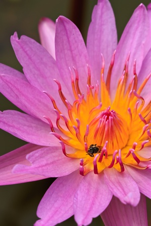 Bee and lotus photo