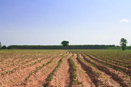Cassava field Stock Photo - 9250123