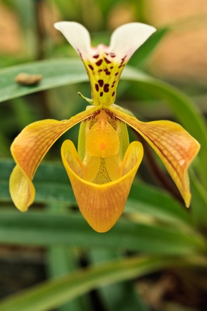 orchideae: Lady