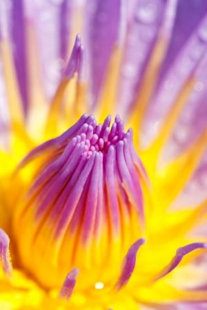 blue lotus photo