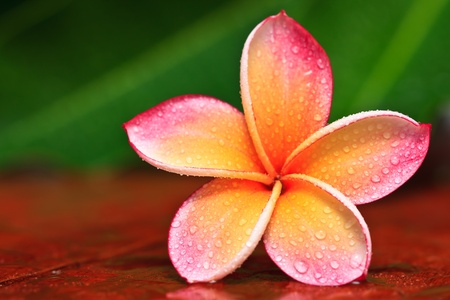 Tropfen des Wassers auf tropische Blume, Plumeria Standard-Bild - 10245431