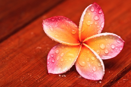 Drops of water on tropical flower, Plumeria