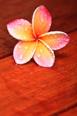 Drops of water on tropical flower, Plumeria photo
