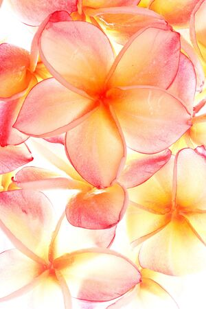 Plumeria, famous tropical flowers Stock Photo - 10336688