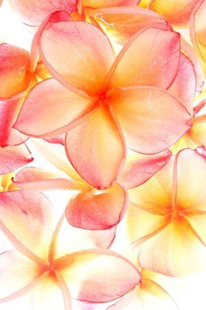 Plumeria, famous tropical flowers Stock Photo - 10336688