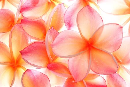 Plumeria, famous tropical flowers Stock Photo - 10336672