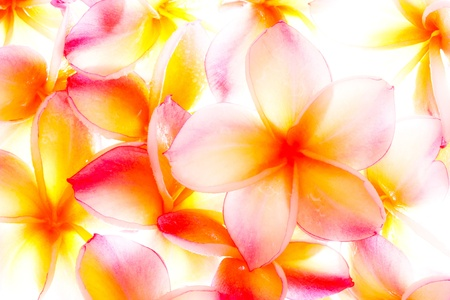 Plumeria, famous tropical flowers photo