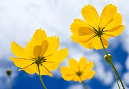 Cosmos and blue sky Stock Photo - 10336620
