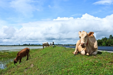 Asian lineage cows photo