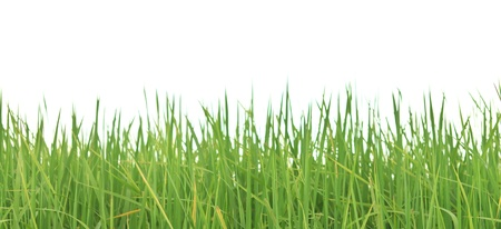 blades of grass: Rice leaves on white background