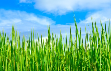 rice field: Rice field and blue sky