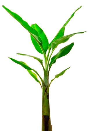 Tropical banana tree on white background photo