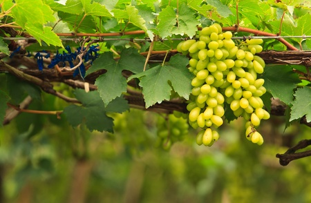grape field: Fresh grape Stock Photo