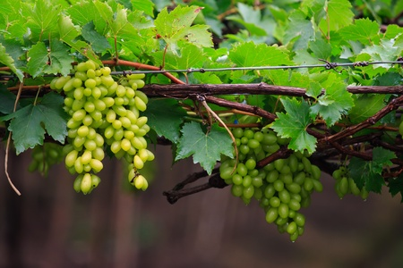 Fresh grape photo
