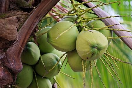 Coconut fruits photo