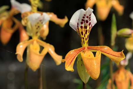 paphiopedilum gratrixianum photo