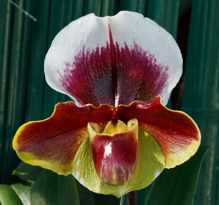 paphiopedilum lippeblut complex, lady-slipper or lady Stock Photo - 11876216