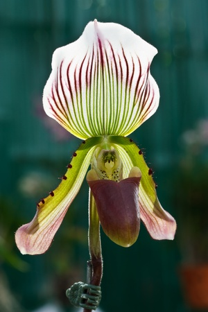 lady's slipper: Ladys slipper orchid Stock Photo