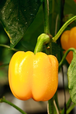 soilless cultivation: Yellos sweet chilli