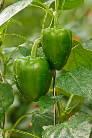 soilless cultivation: Sweet chilli