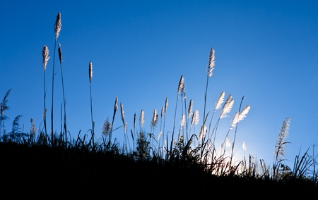 Sunlight behind grass photo