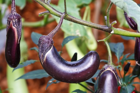 Eggplant Standard-Bild