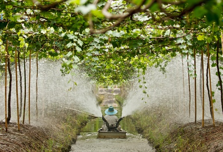 agriculturist: Agriculturist watering in grape garden Editorial