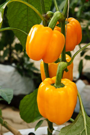 Bright color sweet chilli photo