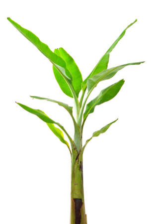 Young banana tree on white background