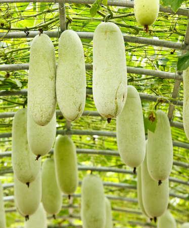 cucurbita: Vegetable farm Stock Photo