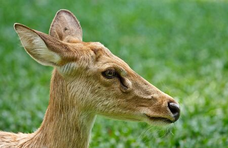 Head shot of gazelle Stock Photo - 13193552