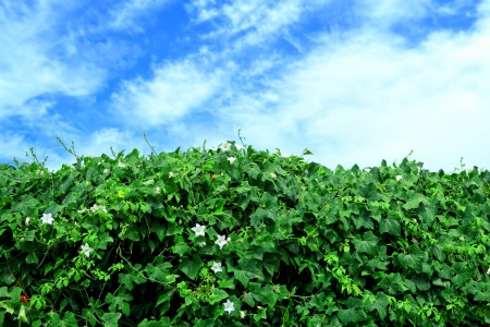 agricultural life: lvy Gourd and blue sky after rain