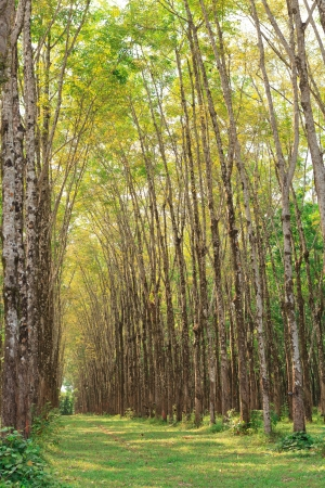 Row of para rubber tree photo
