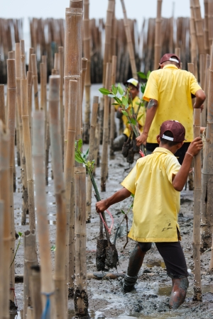 Young volunteer planting  mangroves tree in reforestation activity Standard-Bild