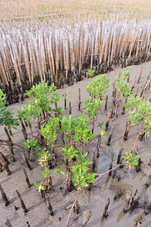 reforestation: Young mangroves tree in reforestation activity Stock Photo