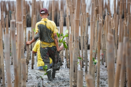 reforestation: Young volunteer planting  mangroves tree in reforestation activity Stock Photo