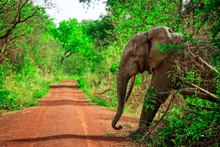 African elephant in Mole National Park, Ghana