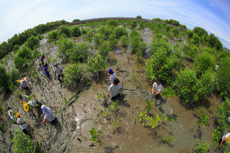 reforestation: Samutsakorn Thailand, 16 September: Volunteers join together and plant young tree in deep mud in mangrove reforestation project on September 16, 2014 in Samutsakorn Thailand. Editorial