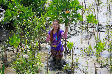 harmonize: Samutsakorn Thailand, 16 September: Volunteers join together and plant young tree in deep mud in mangrove reforestation project on September 16, 2014 in Samutsakorn Thailand. Editorial