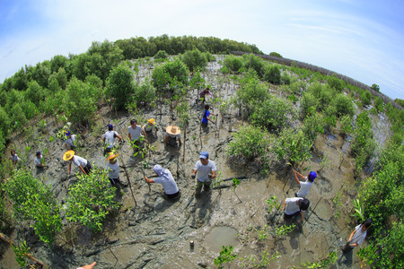 Samutsakorn Thailand, 16 September: Volunteers join together and plant young tree in deep mud in mangrove reforestation project on September 16, 2014 in Samutsakorn Thailand. Editorial
